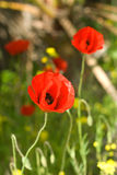 Poppy. Red poppy on a spring field royalty free stock images
