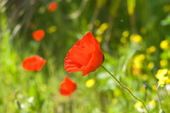 Poppy. Red poppy on a spring field royalty free stock photography