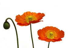 Poppy. A single bud and two orange poppy  on a white background Royalty Free Stock Photography