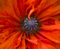 poppy fotografia de stock royalty free