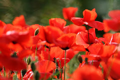 Poppy. Spontaneous poppy flowers in a springtime field stock image