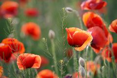 Poppy. Buds and flowers on a green field stock photo