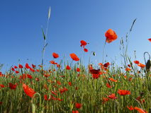 POPPY. Field against a blue soft sky Royalty Free Stock Photography