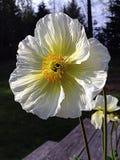 poppy Fotos de Stock Royalty Free