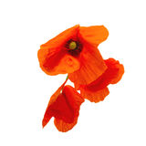 poppy Imagens de Stock Royalty Free