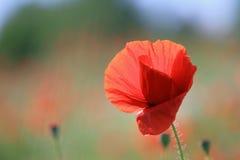 Free Poppy Stock Images - 60260574