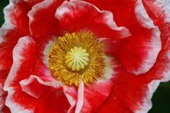 Poppy Royalty Free Stock Photos