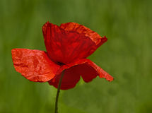 Poppy. Close up of  beautiful  Poppy head against green out of focus background Royalty Free Stock Photography