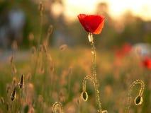 Poppy. Beautiful red flower royalty free stock photo