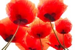 Poppy Royalty Free Stock Image