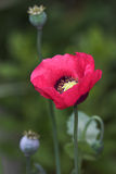 Poppy. Flower Royalty Free Stock Photo