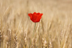 poppy Foto de Stock Royalty Free