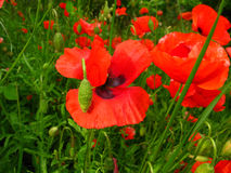 poppy Fotografia de Stock Royalty Free