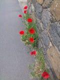 poppy Imagem de Stock