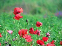 Poppy. Beautiful red flowers Royalty Free Stock Photo