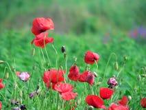 Poppy. Beautiful red flowers royalty free stock photo