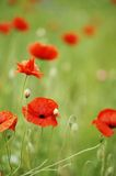 The poppy. The popy focused on the great poppy field. Nice bright red tones and soft light-green background Stock Photography