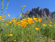 Poppy. Wildflowers in the foreground with Superstition Mountain in the background Royalty Free Stock Photo