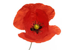 Poppy. Red corn poppy isolated on white Stock Images