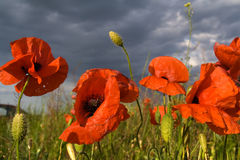Poppy. The field with poppy flowers Royalty Free Stock Images
