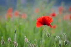 poppy Foto de Stock Royalty Free