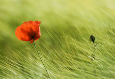 Poppy. And head on the field Royalty Free Stock Image