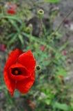 Poppy From Above Fotografía de archivo libre de regalías