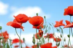 Poppy against blue sky. Red poppy against blue sky Stock Photography