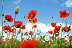 Poppy against blue sky. Background Royalty Free Stock Image