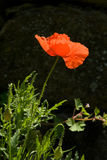 Poppy against dark background. Side lit poppy against dark background stock images