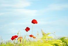 Poppy against the sky Stock Photo