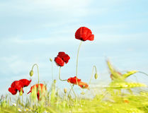 Poppy against the sky Stock Images
