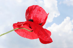 Poppy against the sky Stock Image