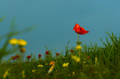 Poppy against the sky. Red flower against the blue sky Stock Image