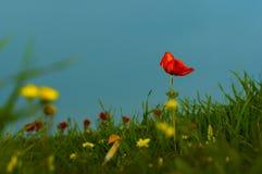 Poppy against the sky. Stock Image