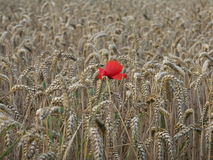Poppy alone in the wheat. Red poppy alone in the wheat royalty free stock image