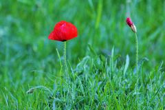 The Poppy. Also called Poppy Poppy or Red Poppy is very abundant in freshly disturbed lands from April in Europe, it is distinguished by its red color and the Royalty Free Stock Photos