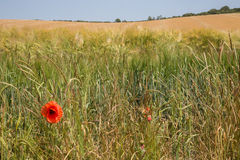 Poppy amidst the cornfield Stock Images