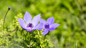 Poppy anemone Royalty Free Stock Photography