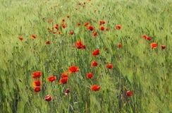 Free Poppy And Rye Field Royalty Free Stock Photo - 9738065