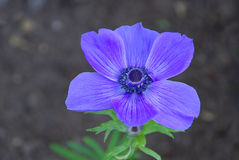 Poppy anemone 01 Royalty Free Stock Photos