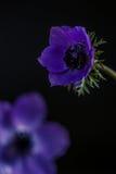 Poppy Anemone Fotografía de archivo libre de regalías