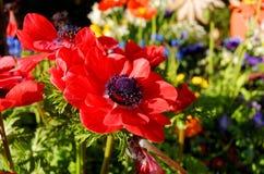 Poppy Anemone-Blüte am Frühling Stockfotos