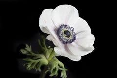 Poppy Anemone On Black Background Royalty Free Stock Photography