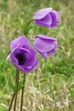 Poppy anemone Royalty Free Stock Image