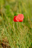 Poppy. Angiospermae from family Papaveraceae Royalty Free Stock Images
