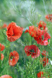 Poppy background Royalty Free Stock Photos