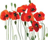 Poppy background, flower art. Vector illustration royalty free illustration