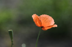 Poppy. Backlit red poppy with a natural-looking out of focus background stock photos