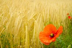 Poppy and Barley. Barley bowing to the brightness of the poppy Stock Photography